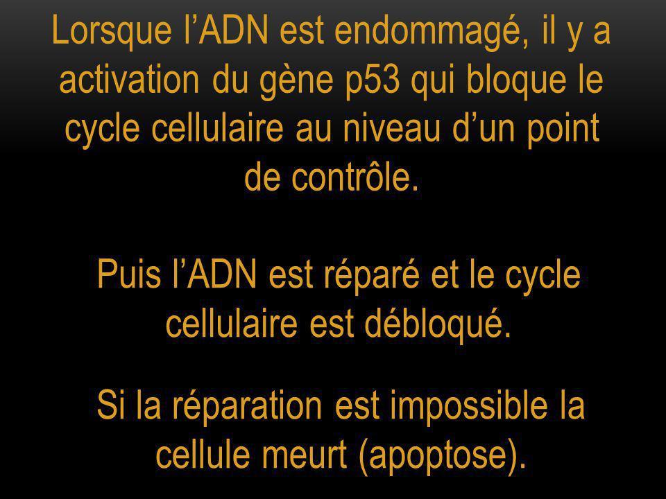 Lorsque l'ADN est endommagé, il y a activation du gène p53 qui bloque le cycle cellulaire au niveau d'un point de contrôle.