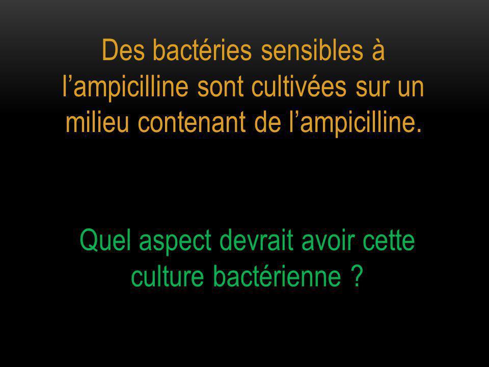 Des bactéries sensibles à l'ampicilline sont cultivées sur un milieu contenant de l'ampicilline.