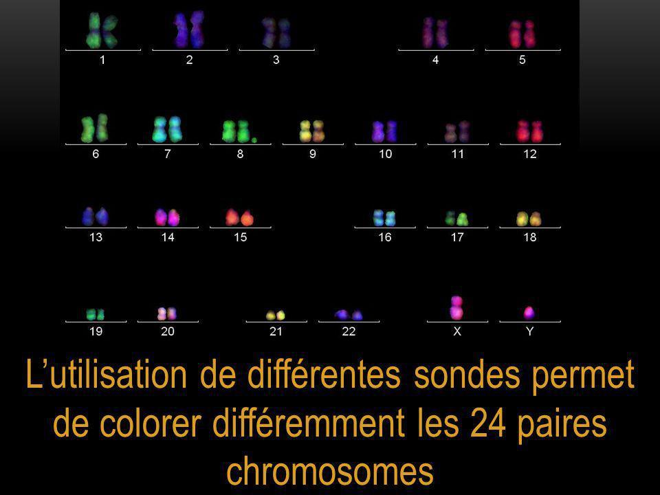 L'utilisation de différentes sondes permet de colorer différemment les 24 paires chromosomes