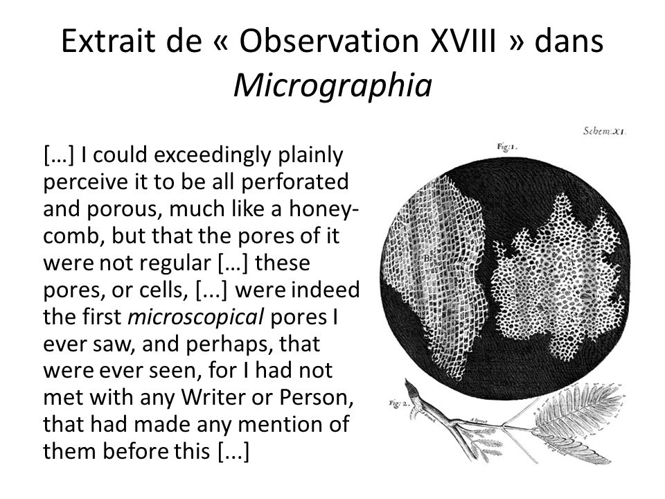 Extrait de « Observation XVIII » dans Micrographia […] I could exceedingly plainly perceive it to be all perforated and porous, much like a honey- comb, but that the pores of it were not regular […] these pores, or cells, [...] were indeed the first microscopical pores I ever saw, and perhaps, that were ever seen, for I had not met with any Writer or Person, that had made any mention of them before this [...]