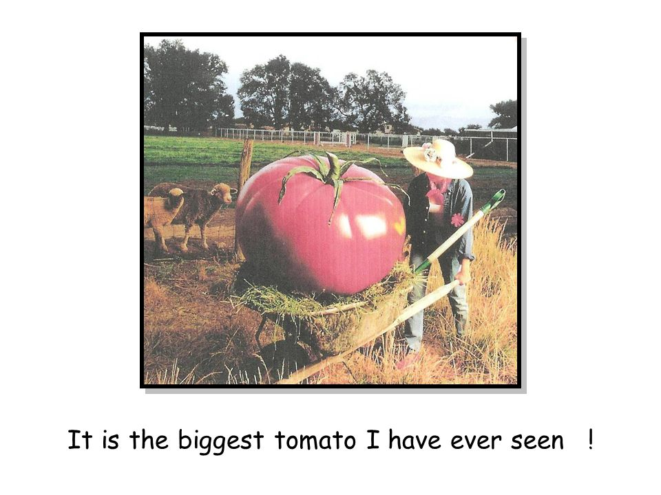It is the biggest tomato I have ever seen !