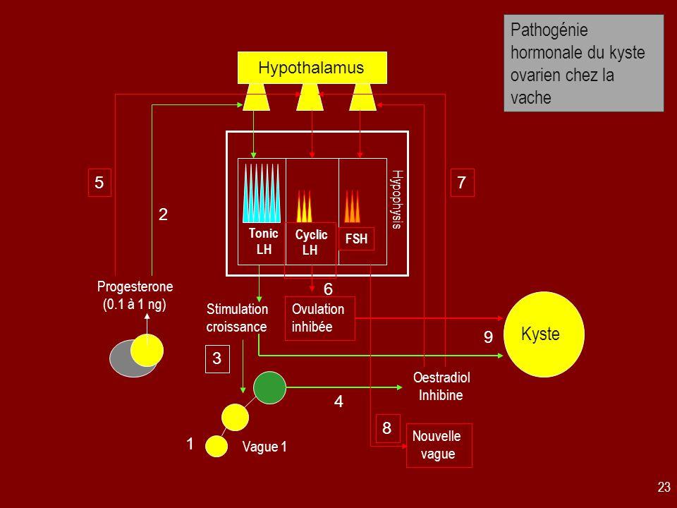 23 Pathogénie hormonale du kyste ovarien chez la vache Tonic LH Hypothalamus Progesterone (0.1 à 1 ng) Stimulation croissance Hypophysis Vague 1 Oestradiol Inhibine 1 2 3 4 Cyclic LH 5 Ovulation inhibée 6 Kyste 9 FSH 7 8 Nouvelle vague