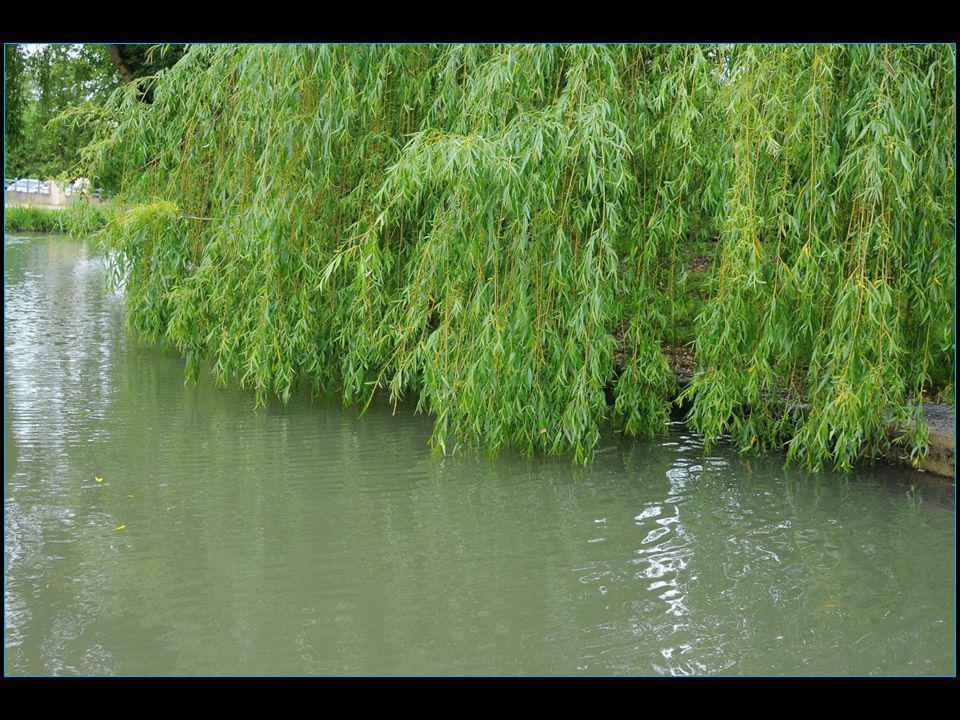 Le saule pleureur dont les branches flexibles ont un port retombant et l'extrémité des rameaux se rapprochent fortement de l'eau mais jamais plus bas