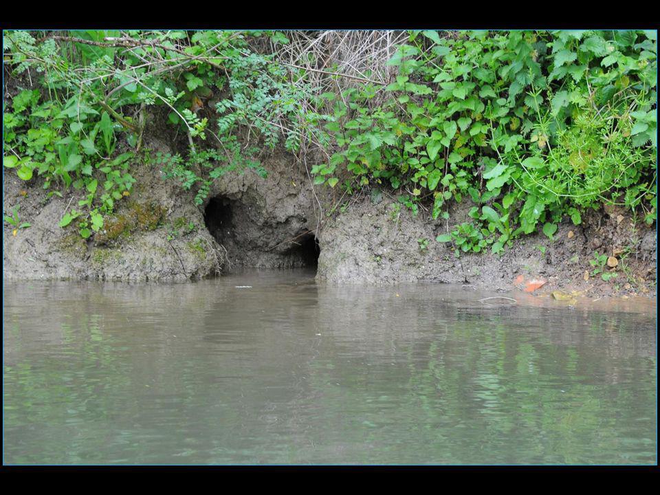 Les ragondins sont un problème majeur en raison des ravages qu'ils causent aux berges