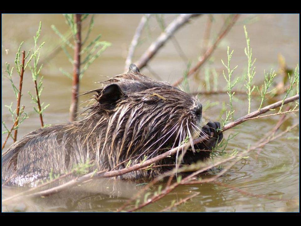 le ragondin, castor des marais, a colonisé des régions telles que le Marais Poitevin