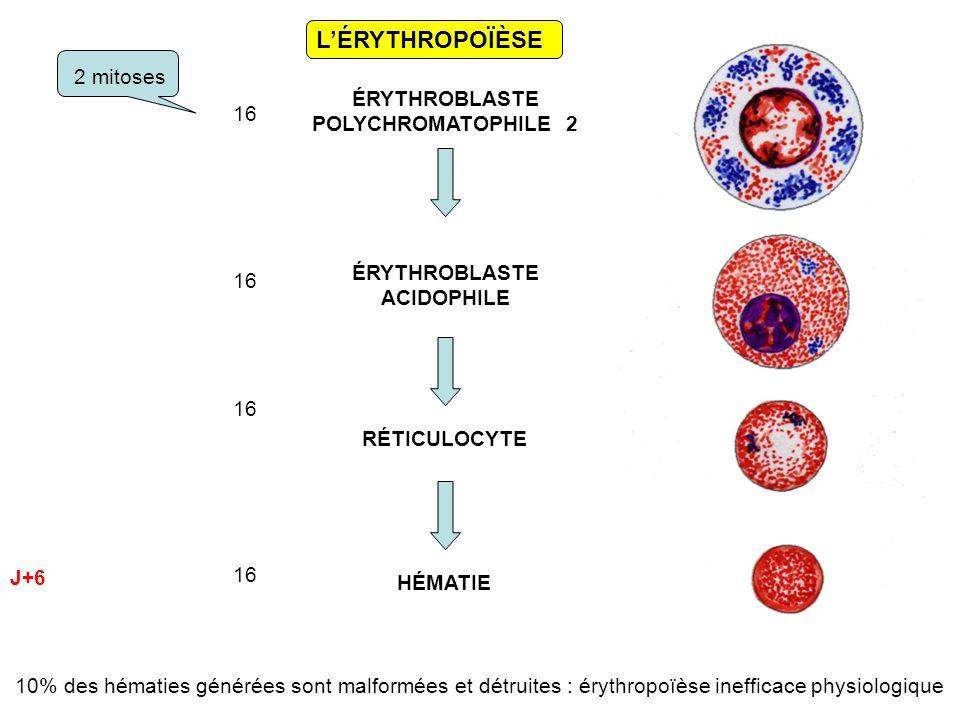 L'ÉRYTHROPOÏÈSE ÉRYTHROBLASTE POLYCHROMATOPHILE 2 16 2 mitoses 16 ÉRYTHROBLASTE ACIDOPHILE RÉTICULOCYTE HÉMATIE J+6 10% des hématies générées sont malformées et détruites : érythropoïèse inefficace physiologique