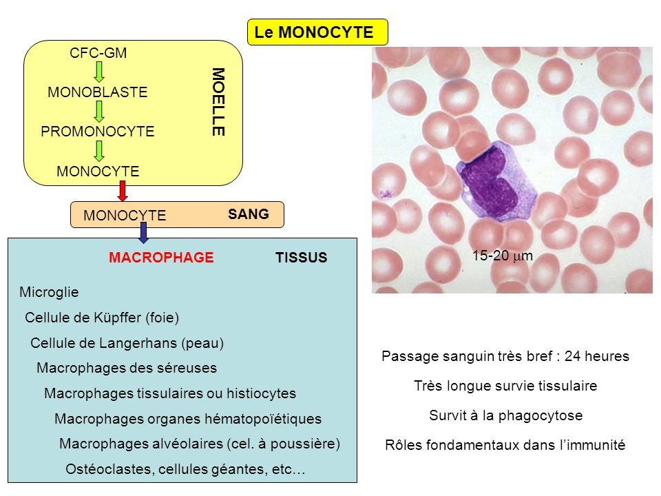 Le MONOCYTE CFC-GM MONOBLASTE PROMONOCYTE MONOCYTE MACROPHAGE Macrophages des séreuses Macrophages tissulaires ou histiocytes Cellule de Küpffer (foie) Macrophages organes hématopoïétiques Microglie Macrophages alvéolaires (cel.