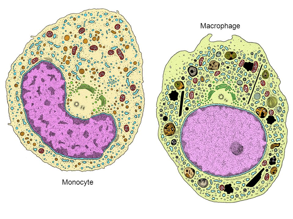 Monocyte Macrophage