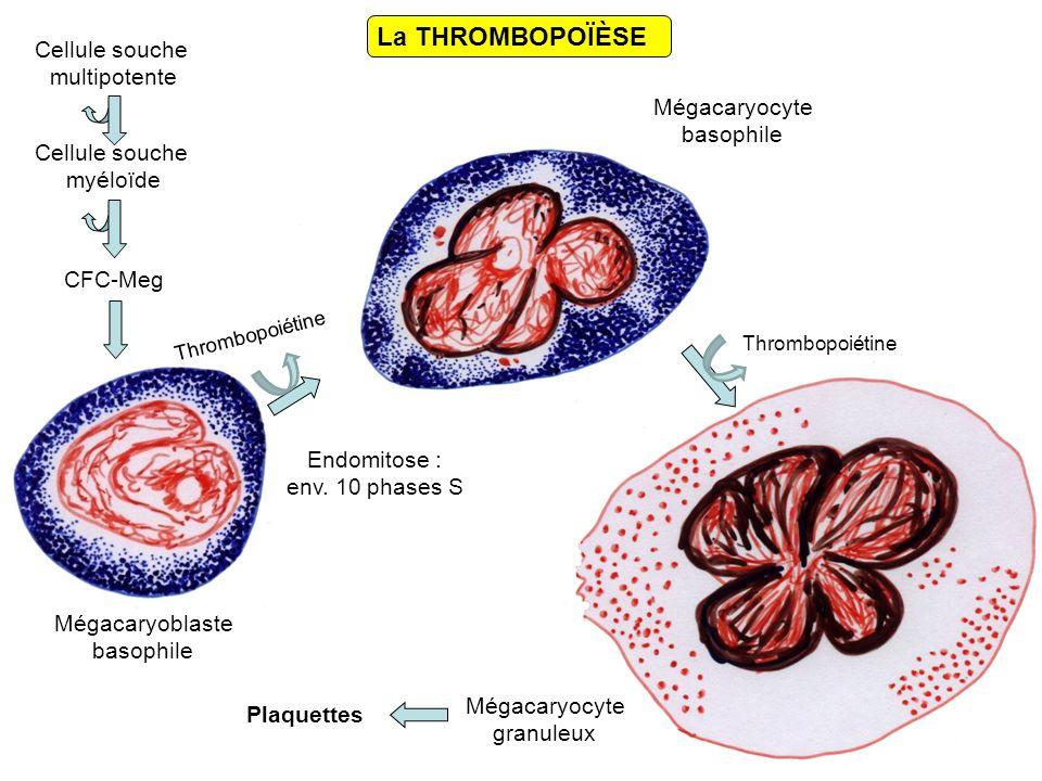 Cellule souche multipotente Cellule souche myéloïde CFC-Meg Plaquettes Mégacaryocyte basophile Mégacaryoblaste basophile Mégacaryocyte granuleux La THROMBOPOÏÈSE Endomitose : env.