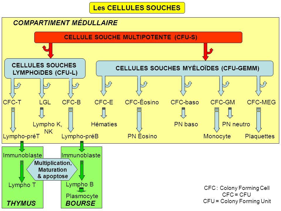 Les CELLULES SOUCHES CELLULE SOUCHE MULTIPOTENTE (CFU-S) CELLULES SOUCHES MYÉLOÏDES (CFU-GEMM) CELLULES SOUCHES LYMPHOïDES (CFU-L) CFC-TCFC-BLGLCFC-ECFC-ÉosinoCFC-basoCFC-GMCFC-MEG Lympho T Lympho B Hématies PN ÉosinoMonocyte PN neutroPN baso Plaquettes Lympho K, NK Lympho-préTLympho-préB COMPARTIMENT MÉDULLAIRE THYMUSBOURSE Immunoblaste Plasmocyte Multiplication, Maturation & apoptose CFC : Colony Forming Cell CFC = CFU CFU = Colony Forming Unit