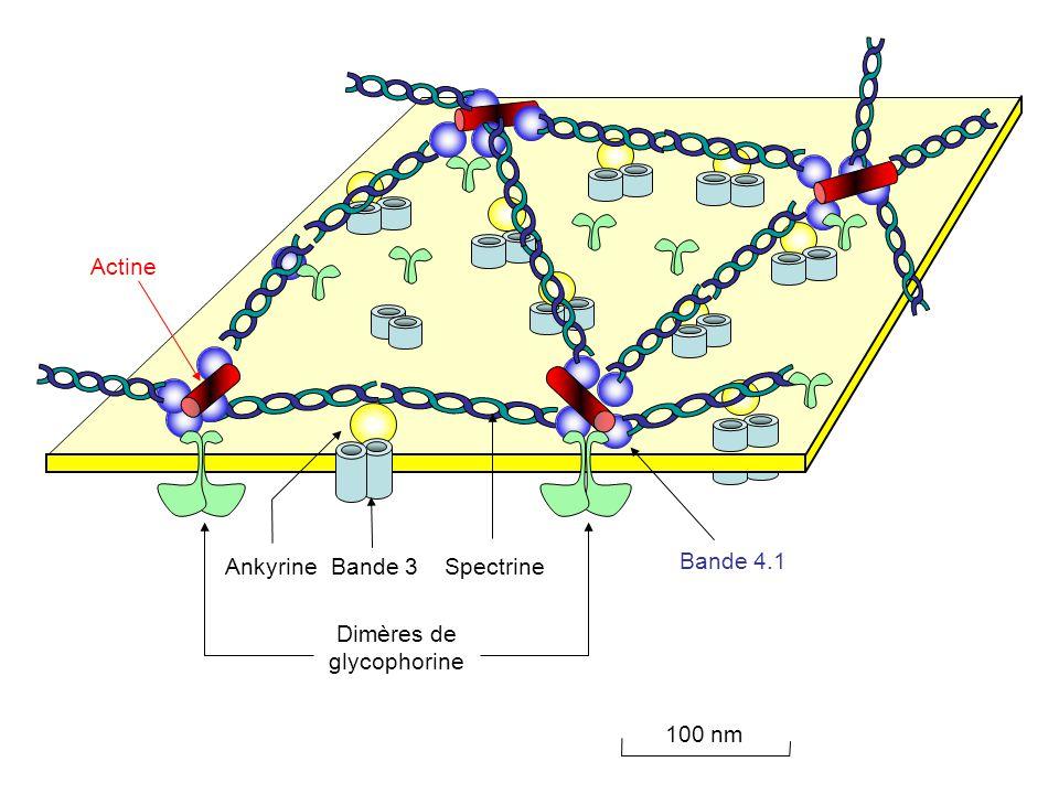 100 nm Dimères de glycophorine Bande 3Ankyrine Bande 4.1 Actine Spectrine