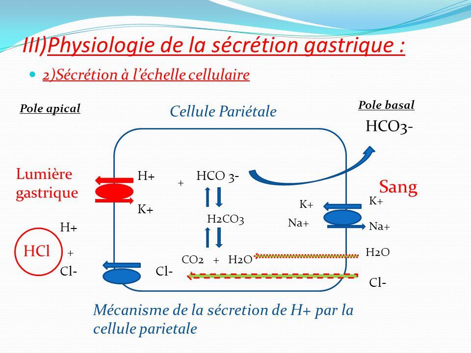 2)Sécrétion à l'échelle cellulaire III)Physiologie de la sécrétion gastrique : Sang Lumière gastrique Cellule Pariétale Mécanisme de la sécretion de H