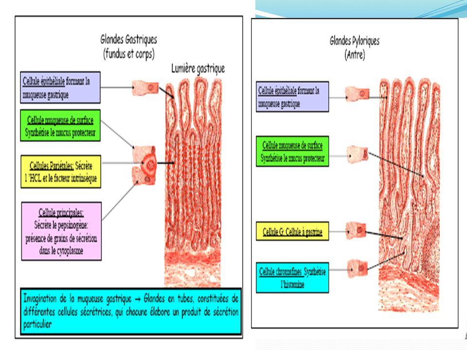 1)Etats d'hypersecrétion gastrique: Maladie ulcéreuse du bulbe duodénal Syndrome de Zollinger Ellison Tm endocrine maligne ou bénigne du pancréas Hypersécrétion de gastrine+++  Hypersécrétion d'HCL Clinique:Dgc suspecté devant des ulcères gastriques et bulbaires multiples, souvent post bulbaires, souvent resistants au TRT, Pouvant être associés à une diarrhée, RGO avec œsophagite +/- sévère Diagnostic: mesure: DAB sup 15mmol/l Gastrinémie basale sup 50pg/ml Test à la sécrétine+++=augmentation paradoxale de la gastrinémie Traitement: * Antisecretoires à forte dose *Résection de la tumeur si mise en évidence *TRT des méta hepatiques IV)Physiopathologie de la sécrétion gastrique :