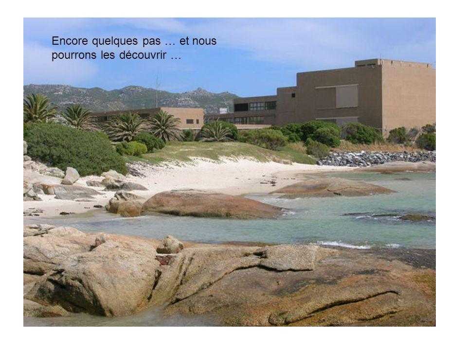 La Foxy Beach (plage Foxy) abrite les colonies de manchots, menacées précédemment, et protégées aujourd'hui …