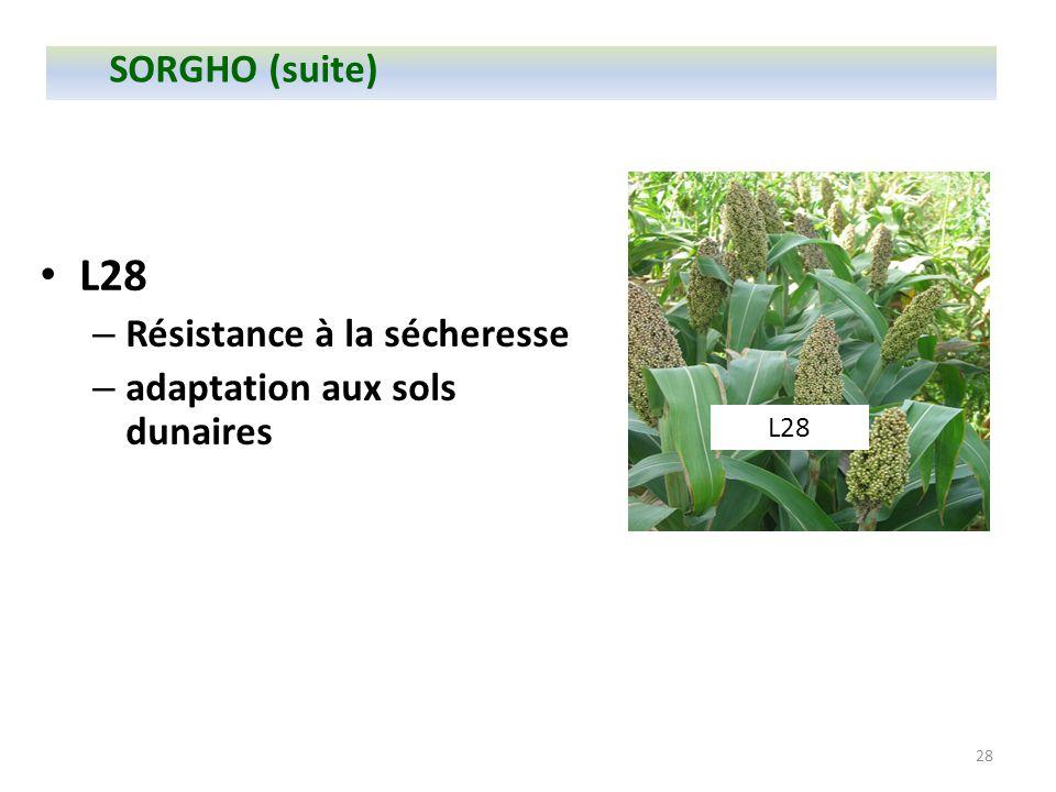 28 L28 – Résistance à la sécheresse – adaptation aux sols dunaires L28 SORGHO (suite)