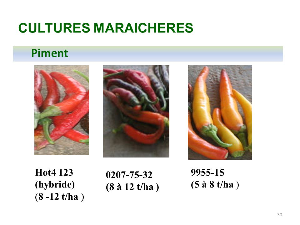 30 CULTURES MARAICHERES Piment 0207-75-32 (8 à 12 t/ha ) Hot4 123 (hybride) (8 -12 t/ha ) 9955-15 (5 à 8 t/ha )