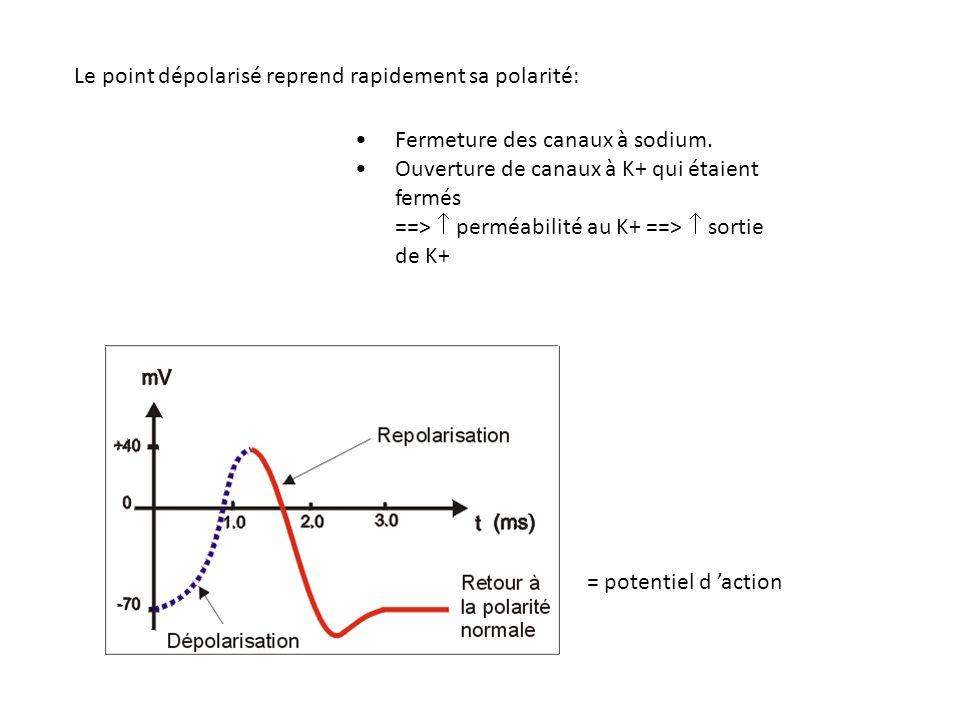 Fermeture des canaux à sodium. Ouverture de canaux à K+ qui étaient fermés ==>  perméabilité au K+ ==>  sortie de K+ = potentiel d 'action Le point