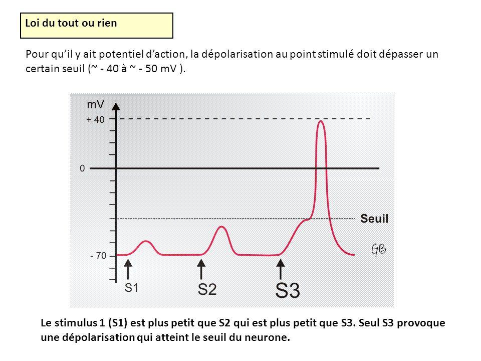 Loi du tout ou rien Pour qu'il y ait potentiel d'action, la dépolarisation au point stimulé doit dépasser un certain seuil (~ - 40 à ~ - 50 mV ).