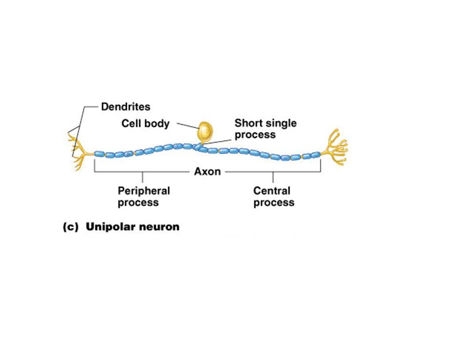La synapse Neuro - Neuronique du SNC 1 mm 3 de substance grise du cortex peut contenir 5 milliards de synapses.