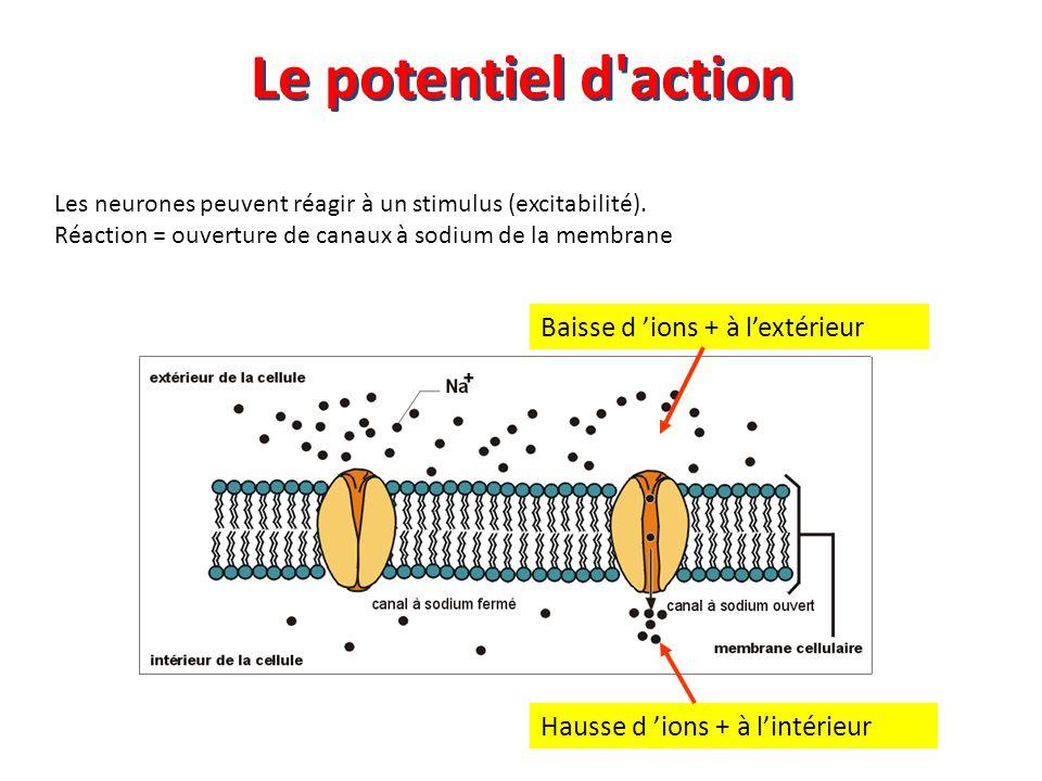 Les neurones peuvent réagir à un stimulus (excitabilité). Réaction = ouverture de canaux à sodium de la membrane Baisse d 'ions + à l'extérieur Hausse