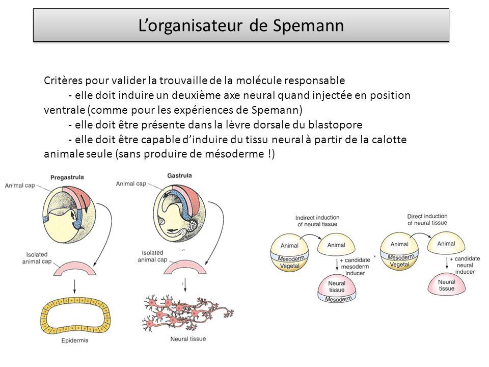 L'organisateur de Spemann Critères pour valider la trouvaille de la molécule responsable - elle doit induire un deuxième axe neural quand injectée en