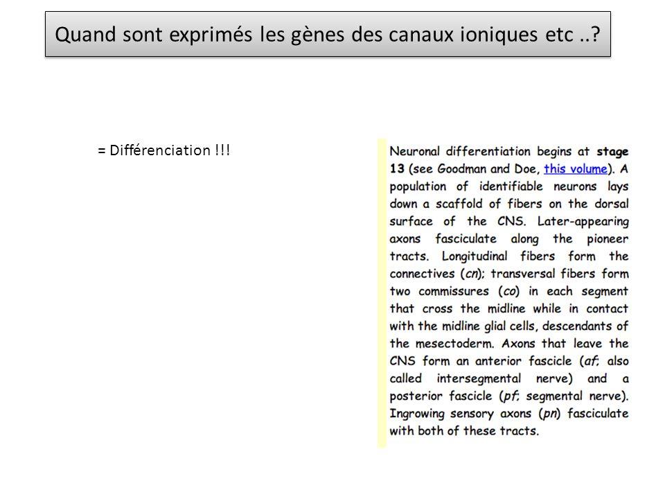 Quand sont exprimés les gènes des canaux ioniques etc..? = Différenciation !!!