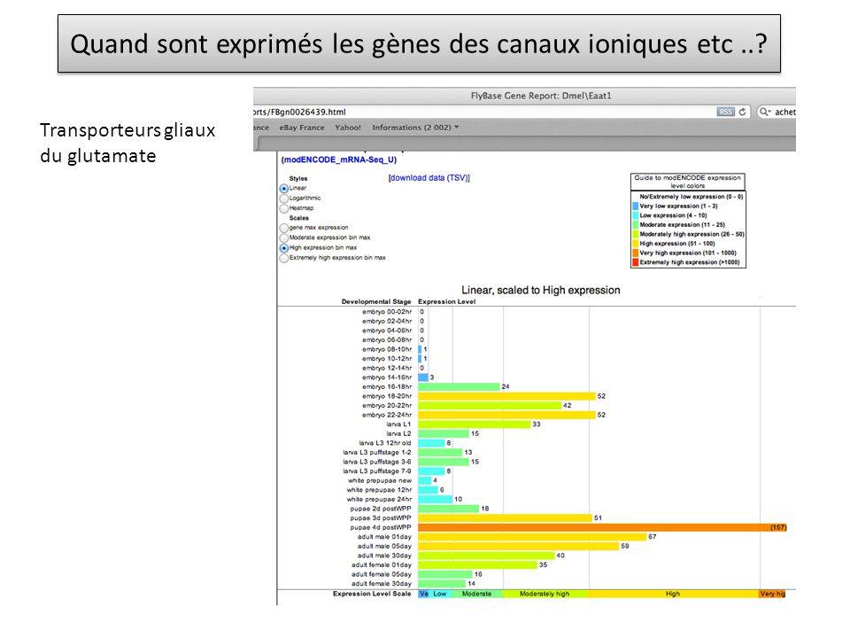 Quand sont exprimés les gènes des canaux ioniques etc..? Transporteurs gliaux du glutamate