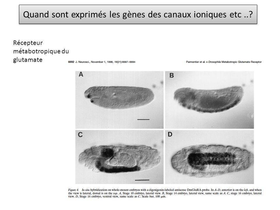 Quand sont exprimés les gènes des canaux ioniques etc..? Récepteur métabotropique du glutamate