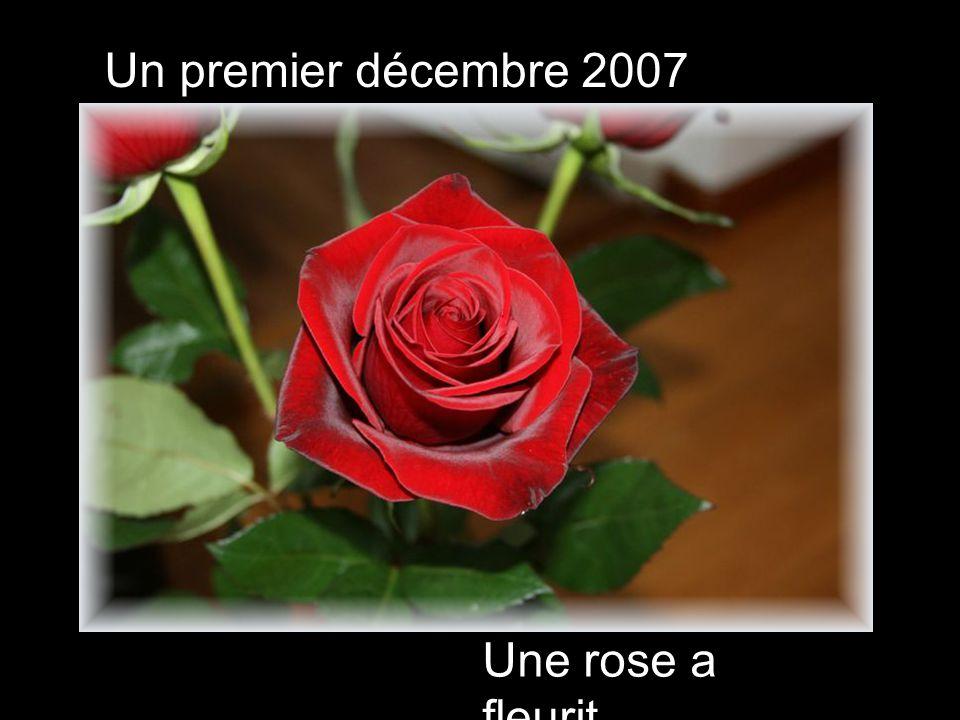 Une rose a fleurit Un premier décembre 2007