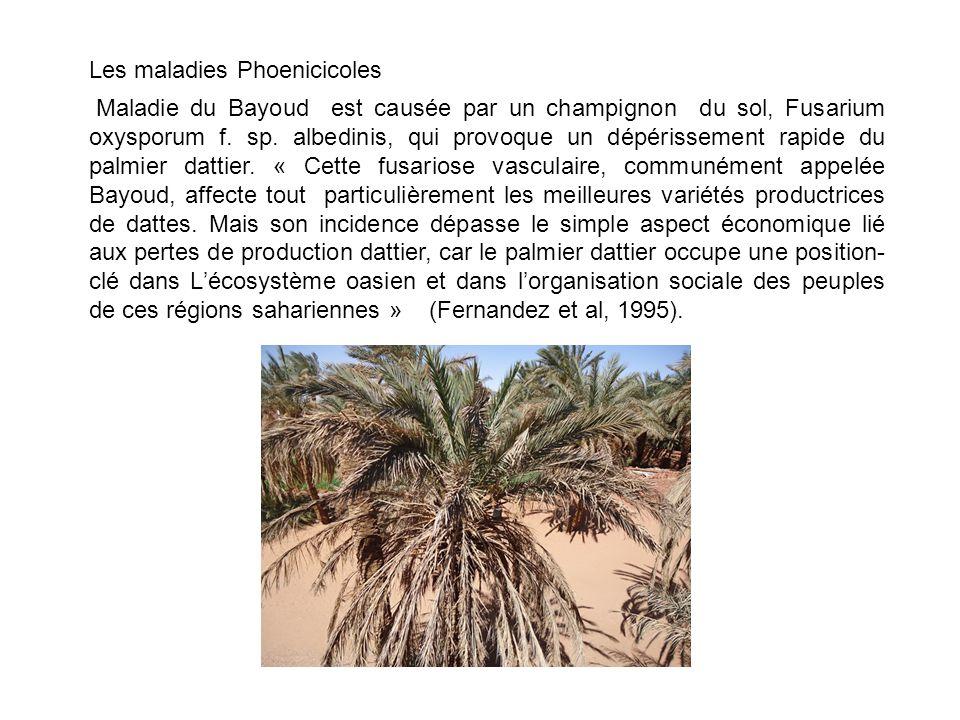 Les maladies Phoenicicoles Maladie du Bayoud est causée par un champignon du sol, Fusarium oxysporum f.