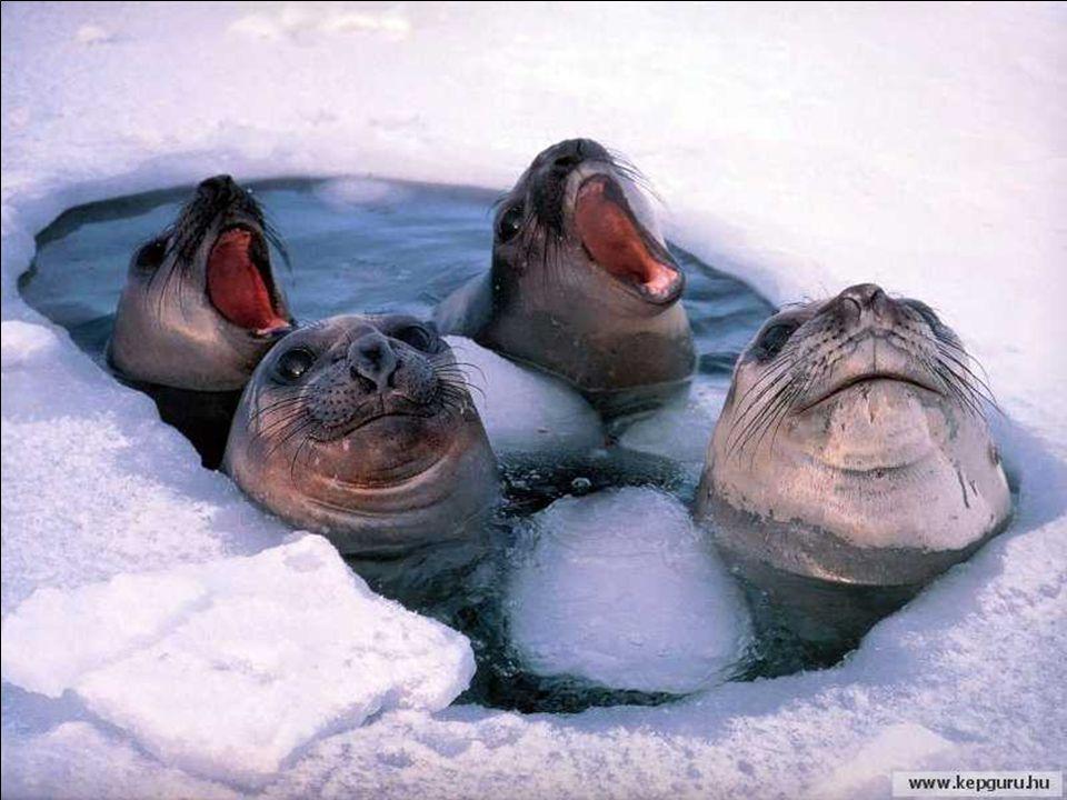 Malgré son rude climat, l'antartique est pourvu d'une faune animalière trés riche, qui s'est étonnament adaptée.