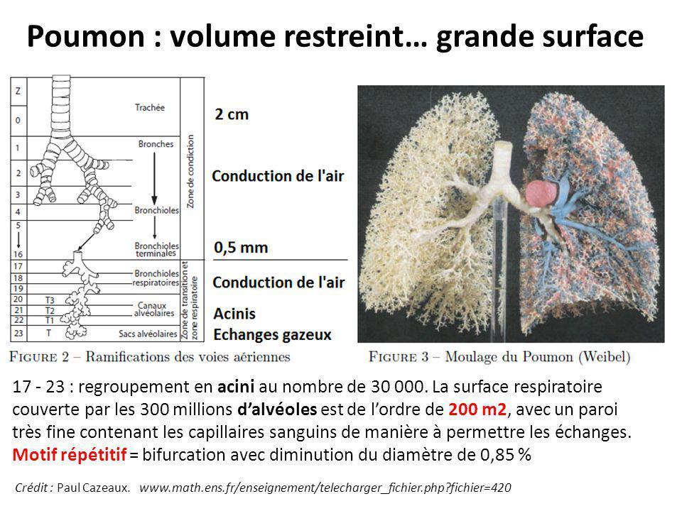 Poumon : volume restreint… grande surface 17 - 23 : regroupement en acini au nombre de 30 000. La surface respiratoire couverte par les 300 millions d