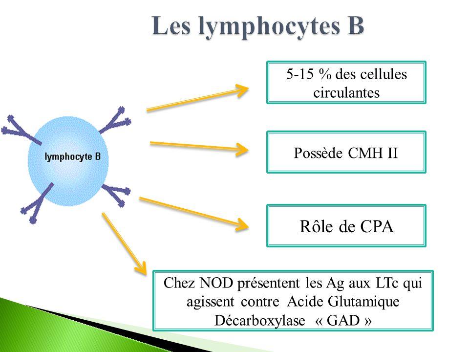Possède CMH II Rôle de CPA 5-15 % des cellules circulantes Chez NOD présentent les Ag aux LTc qui agissent contre Acide Glutamique Décarboxylase « GAD