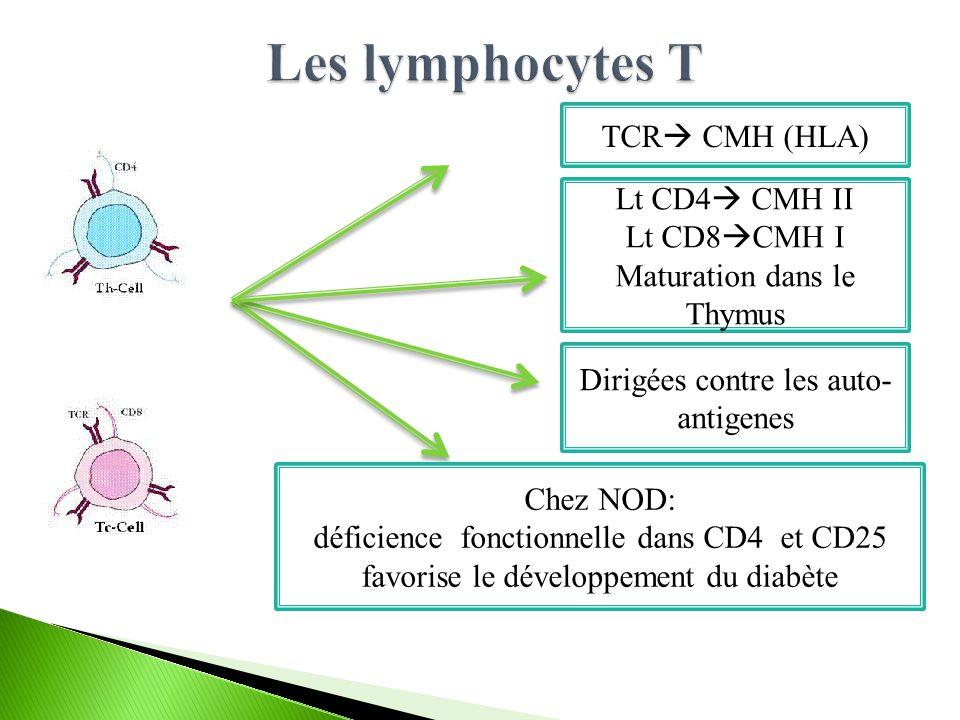 TCR  CMH (HLA) Lt CD4  CMH II Lt CD8  CMH I Maturation dans le Thymus Dirigées contre les auto- antigenes Chez NOD: déficience fonctionnelle dans CD4 et CD25 favorise le développement du diabète
