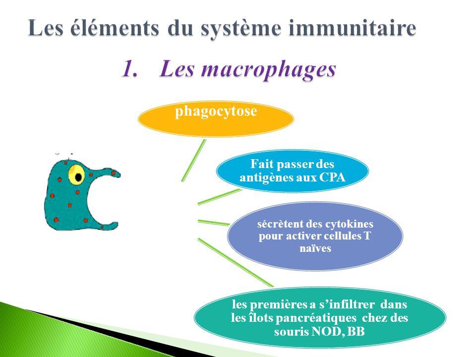 phagocytose Fait passer des antigènes aux CPA sécrètent des cytokines pour activer cellules T naïves les premières a s'infiltrer dans les îlots pancréatiques chez des souris NOD, BB