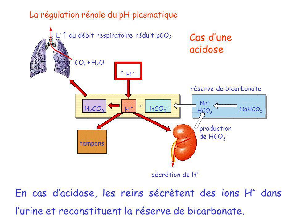 La régulation rénale du pH plasmatique L'  du débit respiratoire réduit pCO 2 CO 2 + H 2 O  H + H +H + HCO 3 - H 2 CO 3 tampons sécrétion de H + production de HCO 3 - HCO 3 - Na + NaHCO 3 réserve de bicarbonate Cas d'une acidose En cas d'acidose, les reins sécrètent des ions H + dans l'urine et reconstituent la réserve de bicarbonate.