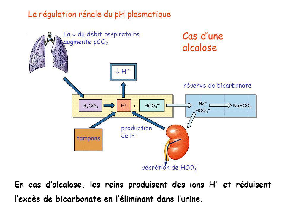 La régulation rénale du pH plasmatique  H + tampons sécrétion de HCO 3 - La  du débit respiratoire augmente pCO 2 production de H + Cas d'une alcalose réserve de bicarbonate En cas d'alcalose, les reins produisent des ions H + et réduisent l'excès de bicarbonate en l'éliminant dans l'urine.