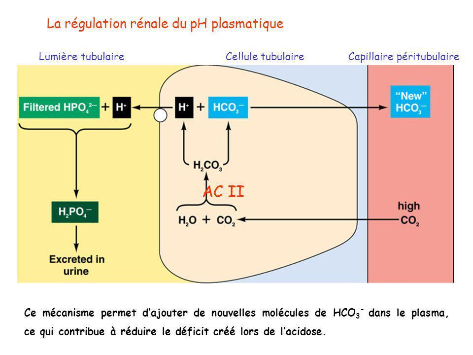 La régulation rénale du pH plasmatique Lumière tubulaireCellule tubulaireCapillaire péritubulaire AC II Ce mécanisme permet d'ajouter de nouvelles molécules de HCO 3 - dans le plasma, ce qui contribue à réduire le déficit créé lors de l'acidose.