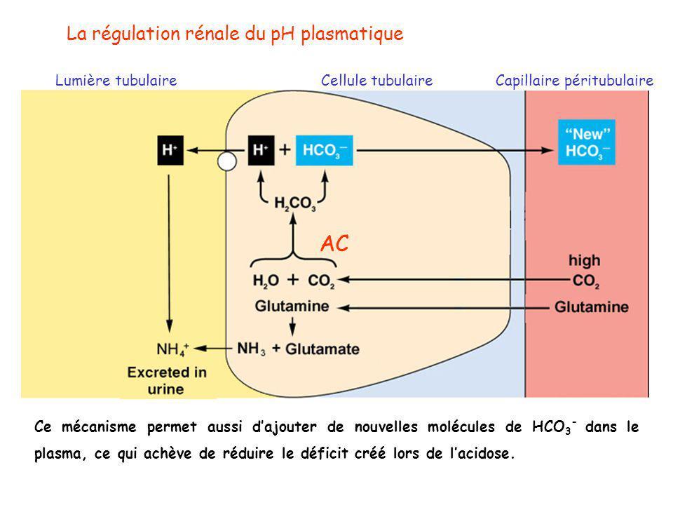 La régulation rénale du pH plasmatique Lumière tubulaireCellule tubulaireCapillaire péritubulaire AC Ce mécanisme permet aussi d'ajouter de nouvelles molécules de HCO 3 - dans le plasma, ce qui achève de réduire le déficit créé lors de l'acidose.