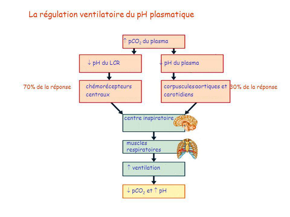  pCO 2 du plasma  pH du LCR  pH du plasma chémorécepteurs centraux corpuscules aortiques et carotidiens centre inspiratoire muscles respiratoires  ventilation  pCO 2 et  pH 70% de la réponse30% de la réponse La régulation ventilatoire du pH plasmatique