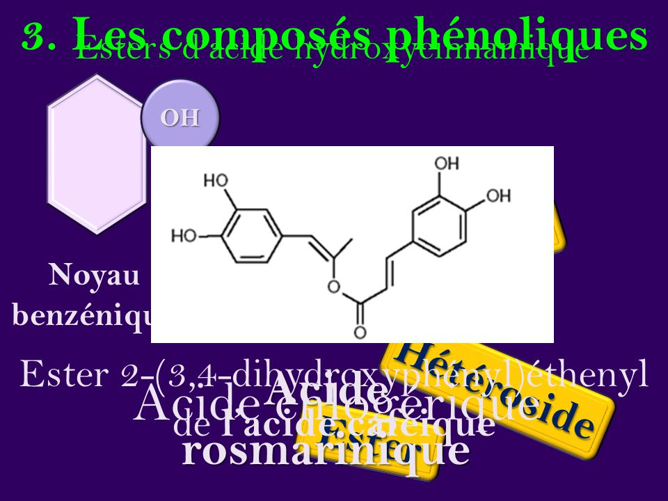 3. Les composés phénoliques Noyau benzénique OH Éther Ester Hétéroside Esters d'acide hydroxycinnamique Acide rosmarinique Acide chlogérique Ester 2-(