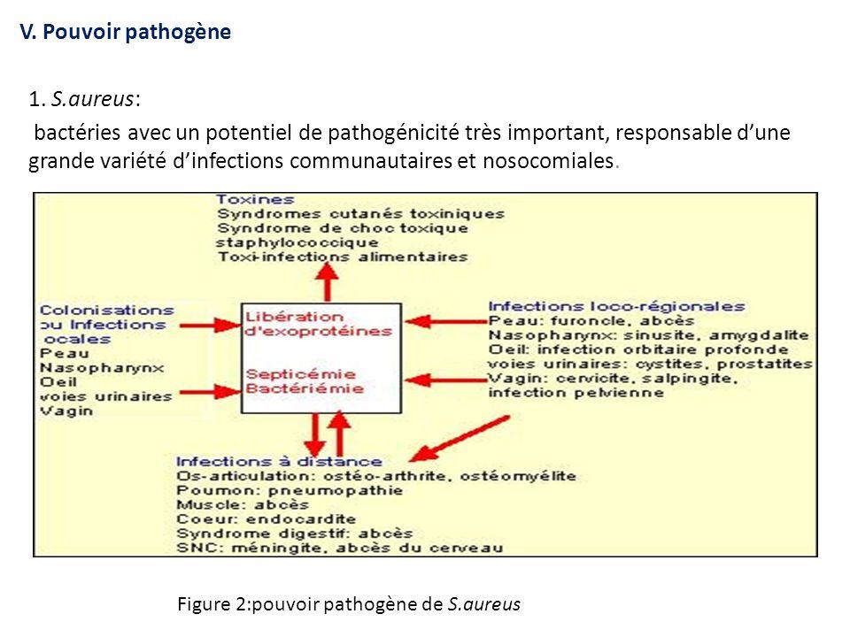 V. Pouvoir pathogène 1. S.aureus: bactéries avec un potentiel de pathogénicité très important, responsable d'une grande variété d'infections communaut