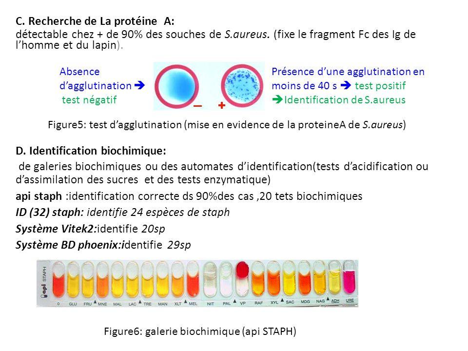 C. Recherche de La protéine A: détectable chez + de 90% des souches de S.aureus. (fixe le fragment Fc des Ig de l'homme et du lapin). Figure5: test d'