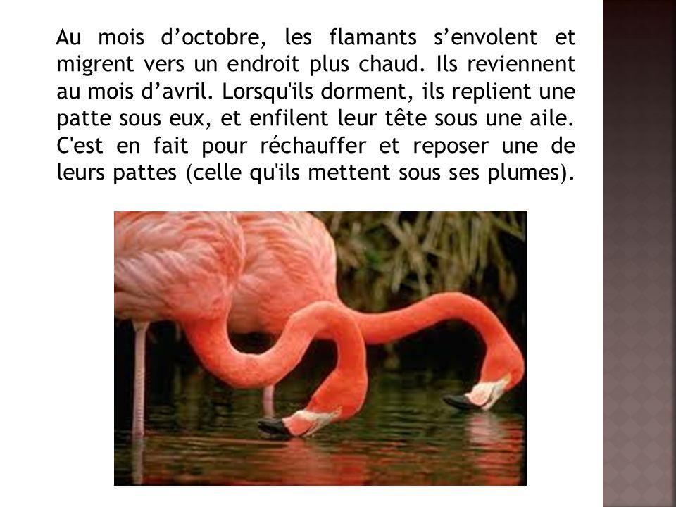 Au mois d'octobre, les flamants s'envolent et migrent vers un endroit plus chaud.