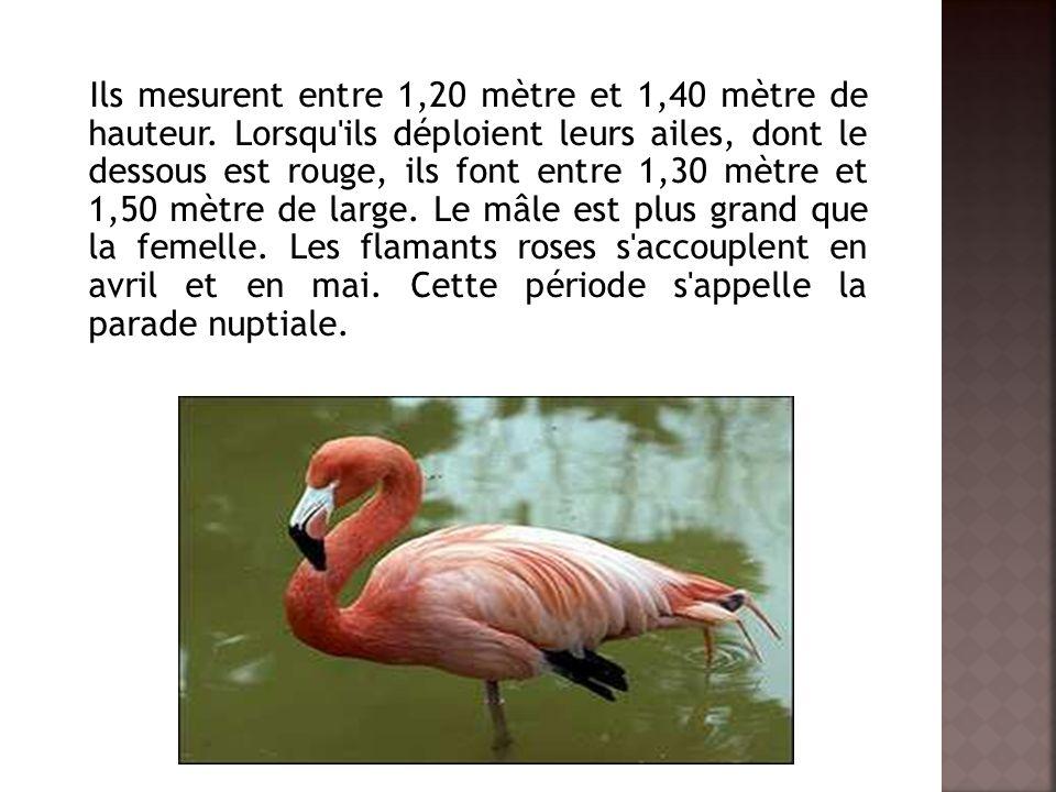Ils mesurent entre 1,20 mètre et 1,40 mètre de hauteur.