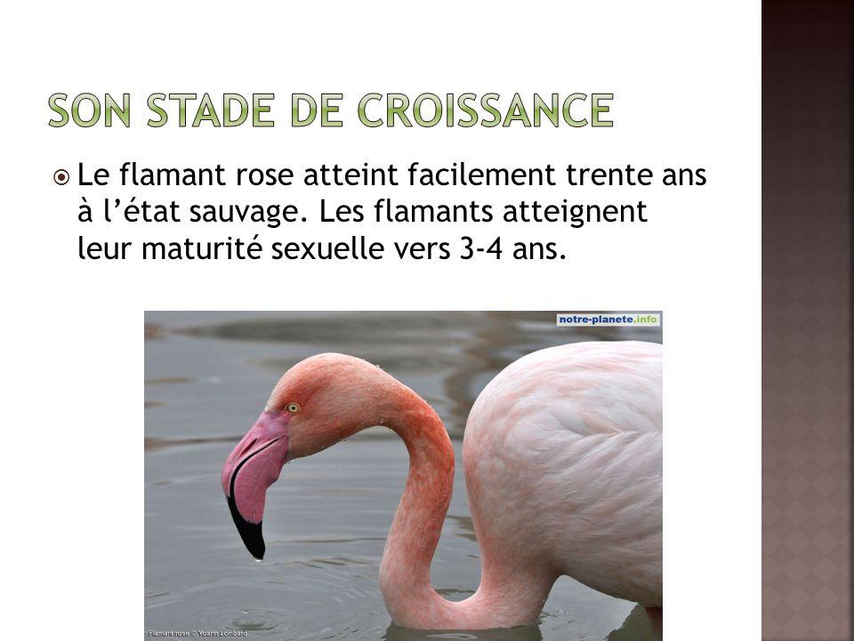  Le flamant rose atteint facilement trente ans à l'état sauvage.
