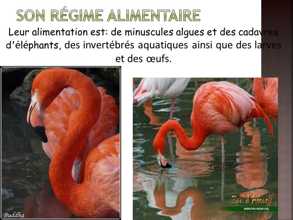 Leur alimentation est: de minuscules algues et des cadavres d 'é l é phants, des invertébrés aquatiques ainsi que des larves et des œufs.