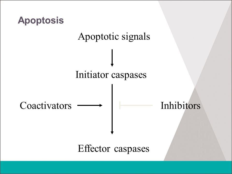 Apoptosis Apoptotic signals Initiator caspases Effector caspases CoactivatorsInhibitors