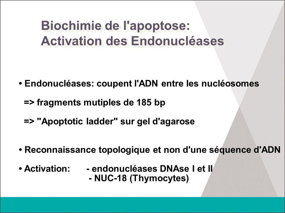 Biochimie de l'apoptose: Activation des Endonucléases Endonucléases: coupent l'ADN entre les nucléosomes => fragments mutiples de 185 bp =>