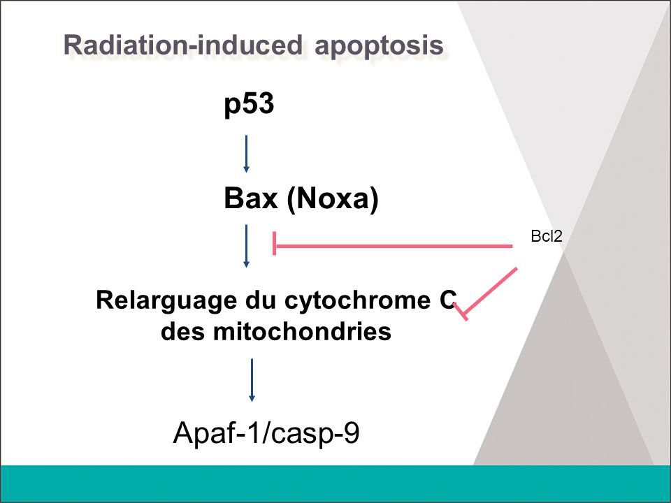 Radiation-induced apoptosis p53 Bax (Noxa) Relarguage du cytochrome C des mitochondries Apaf-1/casp-9 Bcl2